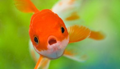 Pet Goldfish Released into the Wild Are Getting Really Huge