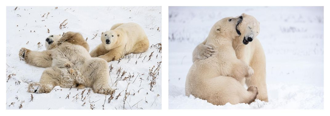 Polar Bear Action diptych