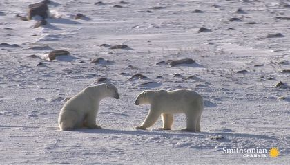 A Fertile Polar Bear's Hard Journey From Mating to Motherhood