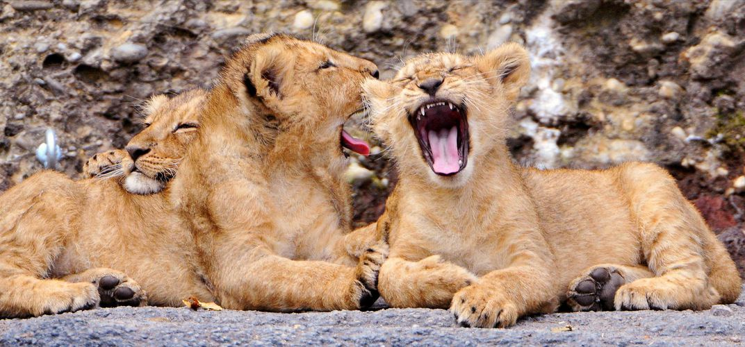 Caption: Contagious Yawning May Keep Lion Prides in Sync