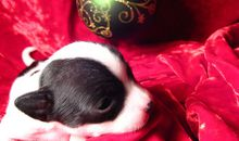 Pet Store Refuses to Sell Impulse-Buy Puppies for Christmas