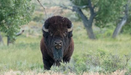 A bison on the Northern Great Plains.