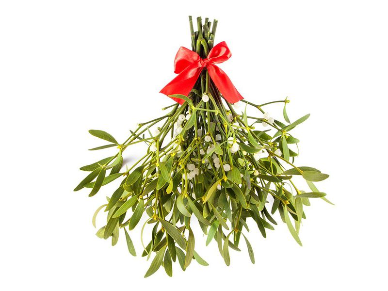 The Enduring Romance Of Mistletoe A Parasite Named After Bird Poop
