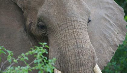 How African Elephants Get Their Wrinkles