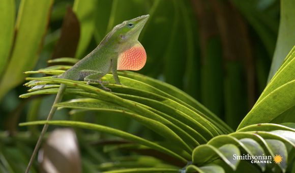 Preview thumbnail for video'The Lizard's Tale 101: Meet the Anoles