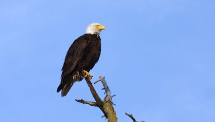 Study Finds Rat Poison in Dead Eagles From Across the U.S.
