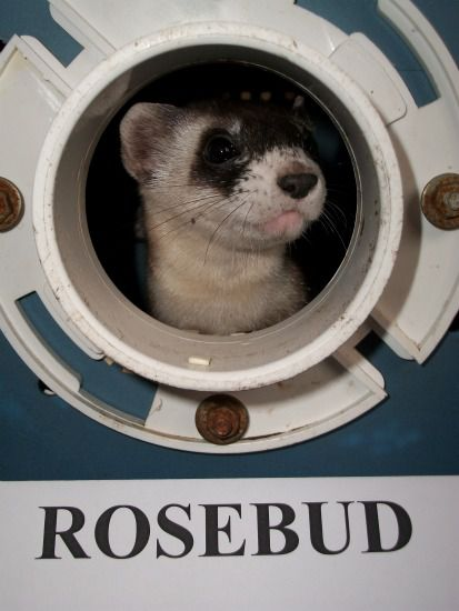 Rosebud, the Zoo's black-footed ferret youngster.