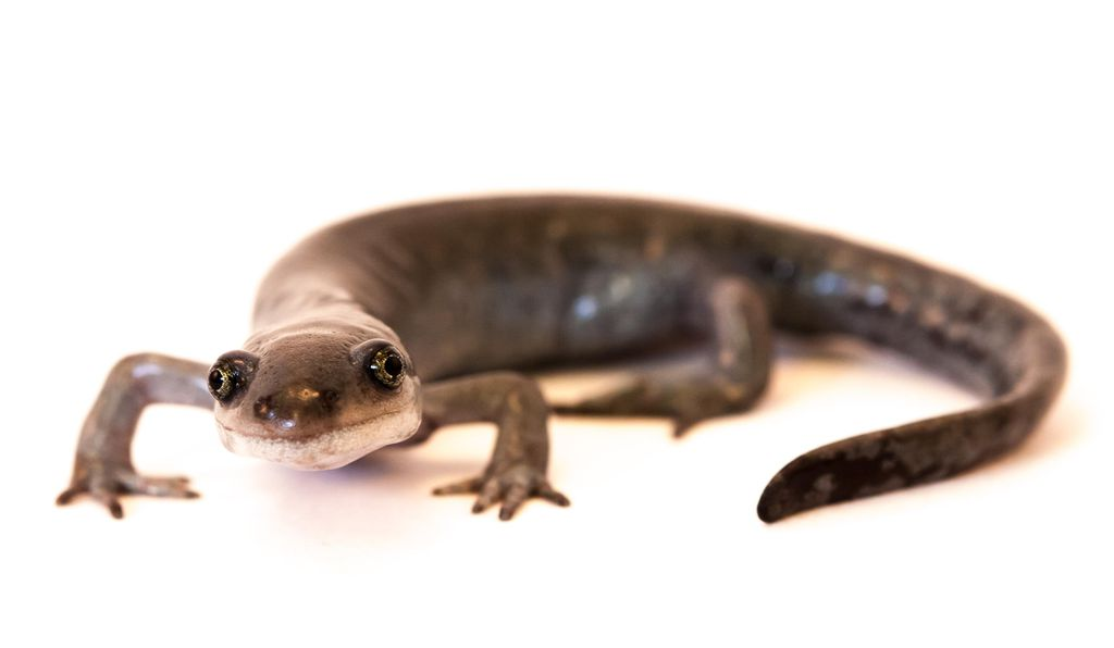 A unisexual female salamander.