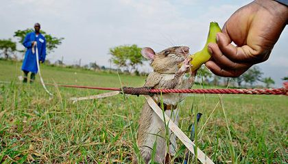 How Giant Rats Could Stop Illegal Wildlife Trade From Squeaking By