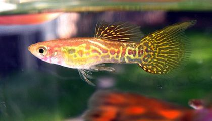 Dead Male Guppies Can Make Babies