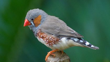 Telomeres and Longevity in Zebra Finches