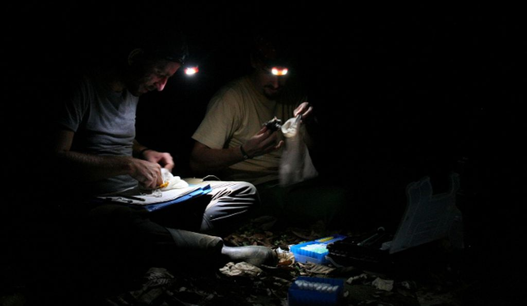 Brändel and Thomas Hiller, another doctoral student, sit on the forest floor to inspect their bats, recording data like species type and body measurements and collecting blood samples.