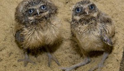 Burrowing Owl Chicks Born at the National Zoo