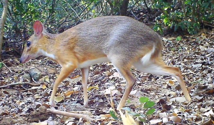 Vietnamese Mouse-Deer Spotted Once Again