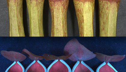 These Carnivorous Plants Glow Under Ultraviolet Light to Attract Prey
