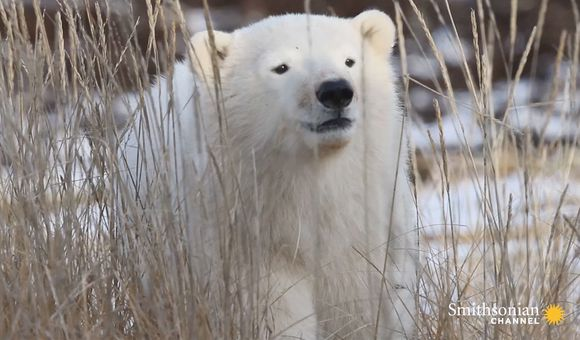 Preview thumbnail for video'Polar Bear Mom and Cub Accidentally Separated by a Car