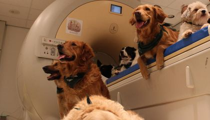 Dog Brains Don't Appear to Pay Special Attention to Faces