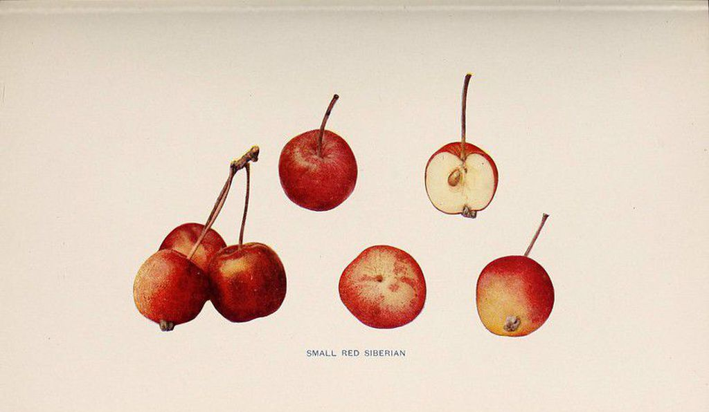 Small red Siberian apples from New York
