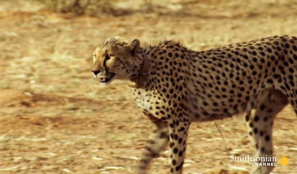 Preview thumbnail for video'Incredible: A Cheetah Sprints to Catch a Springbok