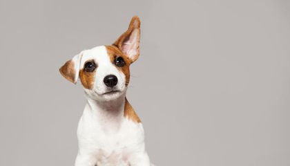 Dogs Know When You're Praising Them. That Doesn't Mean They Understand Human Speech