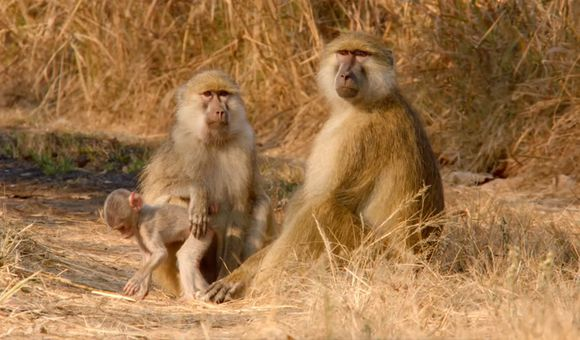 Preview thumbnail for video'A Biologist Studies a New Species of Baboon