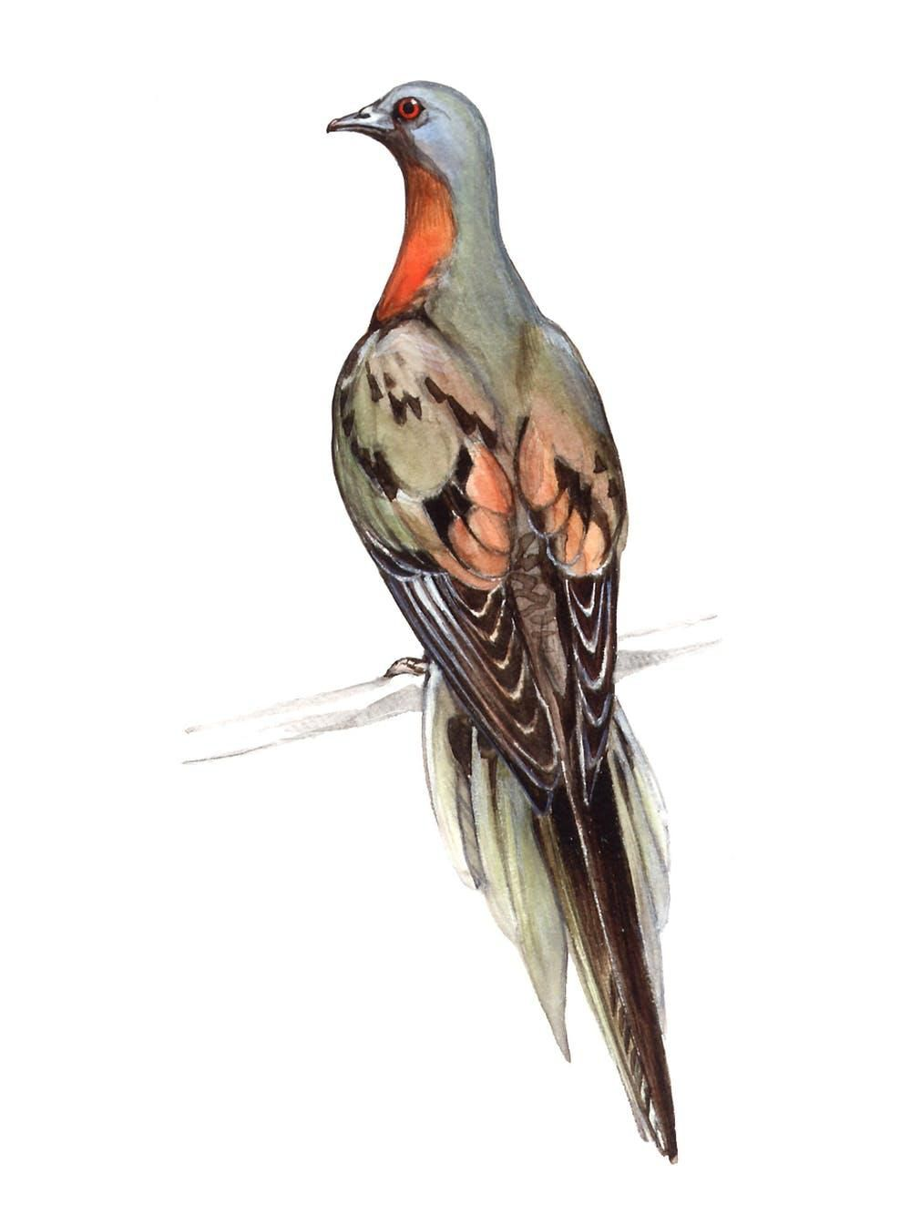 You won't see another passenger pigeon.
