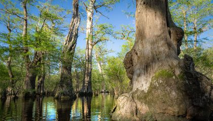 North Carolina Bald Cypresses Are Among the World's Oldest Trees