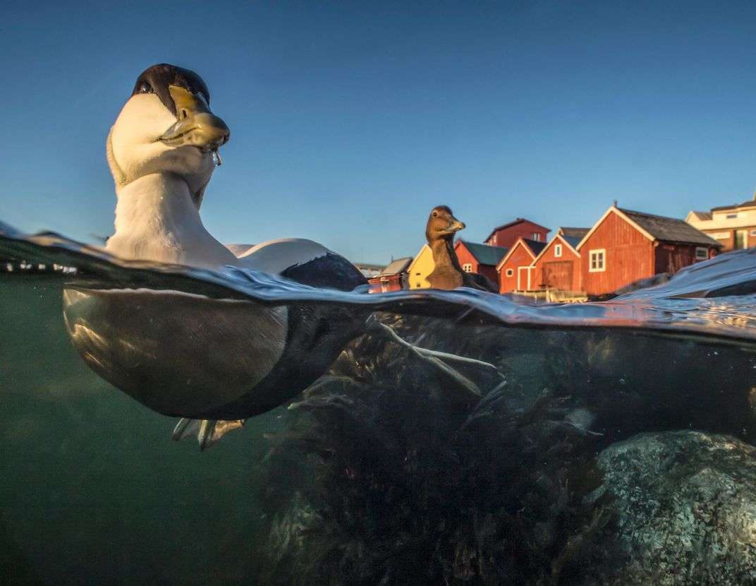 Prize Winning Images Capture Birds In All Their Feathered Glory Snake Skeleton Diagram Beautiful Scenery Photography An Eider Duck Somateria Molissima Is Out For A Paddle Trondelag Norway Pl Hermansen Via Bird Photographer Of The Year Awards 2017