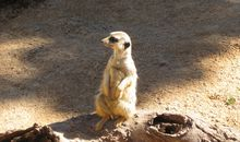 Meerkats and Ground Squirrels Live Together, Respond to Threat Differently
