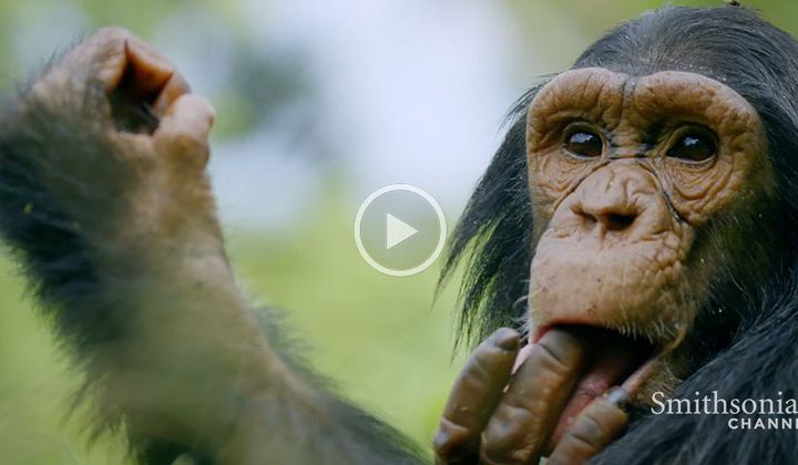 Chimps Learn Behavior From One Another
