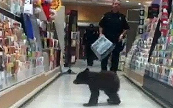 What happens after a bear wanders into a drugstore?