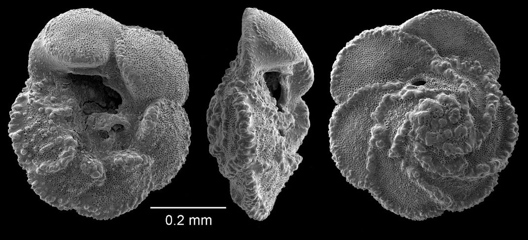 Three black and white views of a foraminifera fossil.