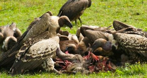 vultures-eating-dead-animal-470.jpg