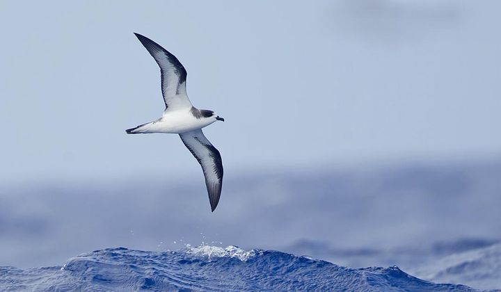 The Hawaiian Petrel's Diet Changed in 100 Years
