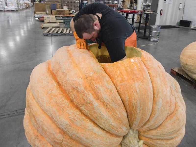 This pumpkin is eventually going to hold about 250 gallons of beer.
