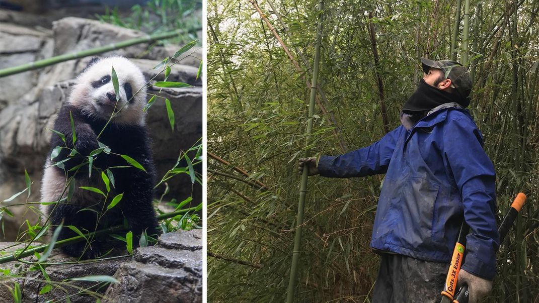 A young panda cub eating bamboo (left) and a person holding hedge clippers and examining a bamboo grove (right)