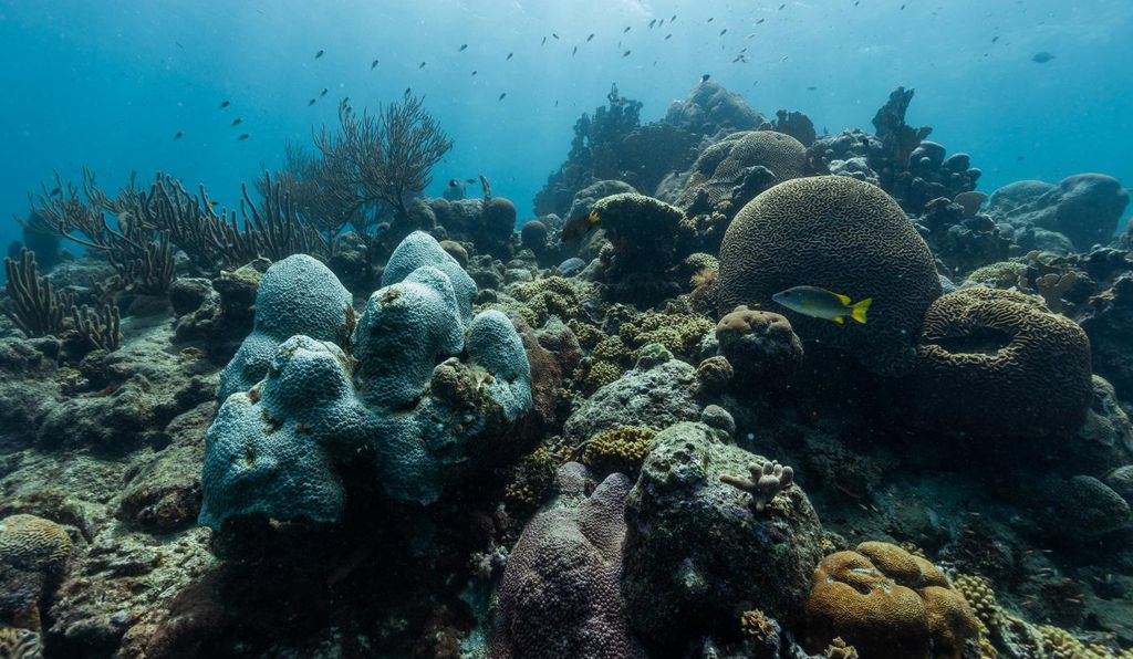 """It's extra special that we made this breakthrough in elkhorn corals, because they're so important for building coral reefs and protecting shorelines all around the Caribbean,"" says co-author Kristen Marhaver."