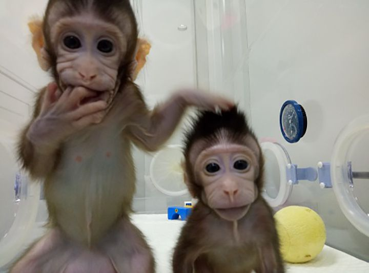 Image result for cloned monkey