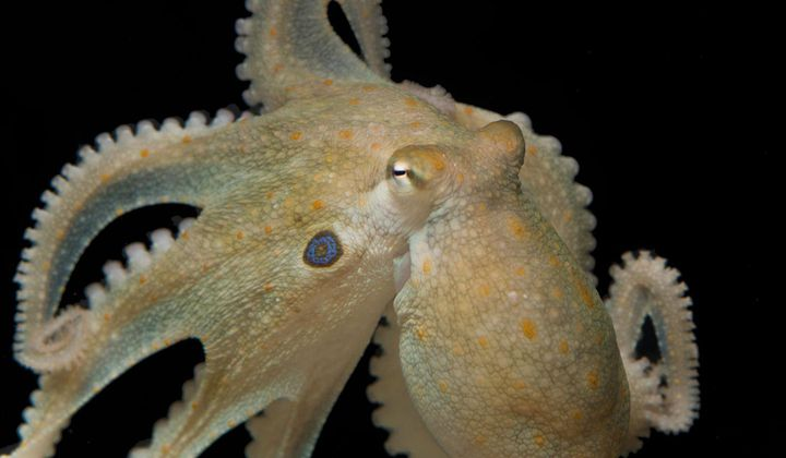 Ecstasy Turns Antisocial Octopuses Into Best Pals