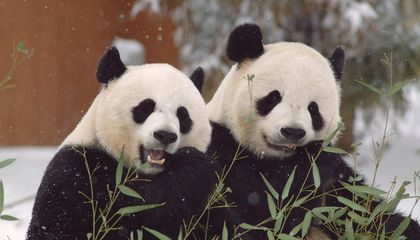 Giant Panda Mating Calls Say a Lot About Them