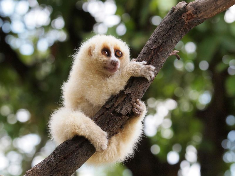A zoomed in photo of a Javan slow loris clinging to a tree branch with green leaves in the background. It's a small primate with light, golden fur. It has large brown eyes and a short snout. It clings onto the branch with all four limbs wrapped around it.