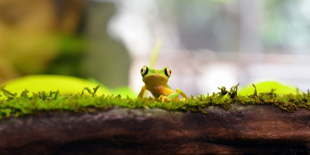 A small green and yellow frog with big, round eyes, called a lemur leaf frog, stands on a mossy piece of wood