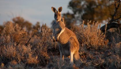 Kangaroos Are Lefties, and That Can Teach Us About Human Handedness