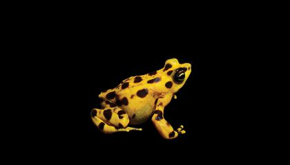 A Small Band of Panamanian Golden Frogs Is Saving Their Species From Oblivion