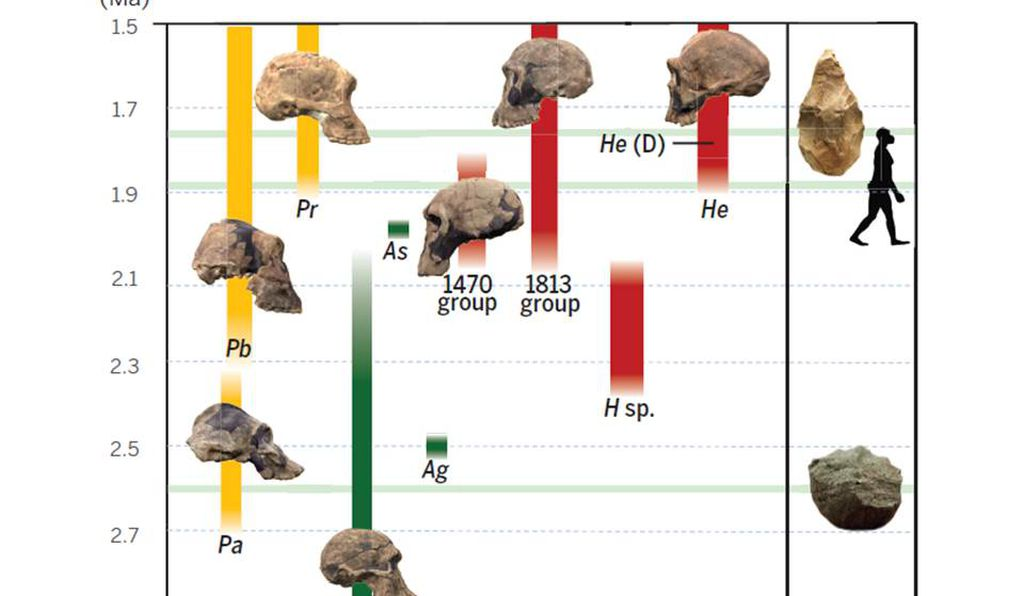 Hominin evolution from 3.0 million to 1.5 million years ago. Green: <em>Australopithecus</em>, Yellow: <em>Paranthropus</em>, Red: <em>Homo</em>. The icons indicate from the bottom the first appearance of stone tools at ~2.6 million years ago, the dispersal of <em>Homo</em> to Eurasia at ~1.85 million years ago, and the appearance of stone axes at ~1.76 million years ago. The cultural milestones do not correlate with the known first appearances of any of the currently recognized <em>Homo</em> specimens.