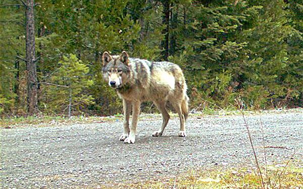 Oregon's wandering wolf now leader of a pack