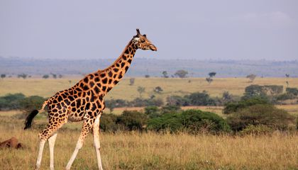 How Do Giraffes Stay So Cool? Perhaps the Secret Is a Long Neck