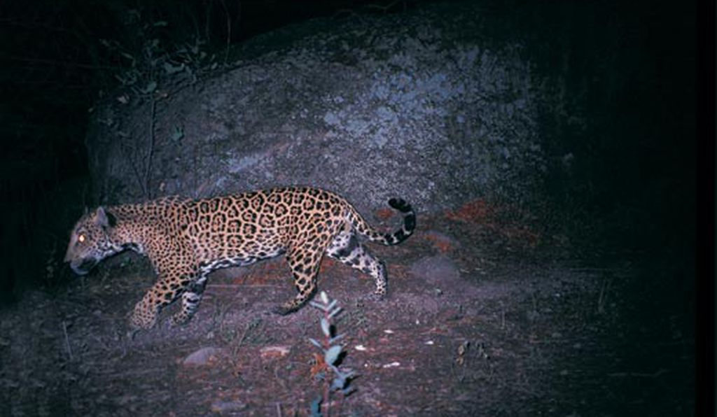 Trail cameras have documented that Macho B (first photographed in 2004) roams a vast Southwestern territory—at least 525 square miles.