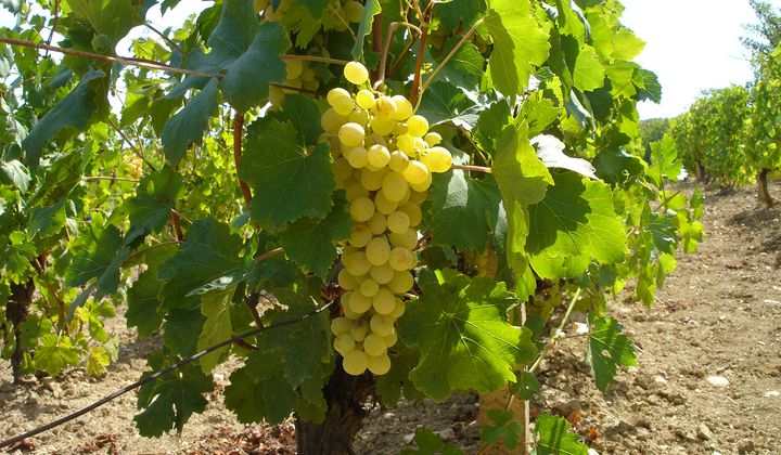 Climate Helps England's Wines Compete With France