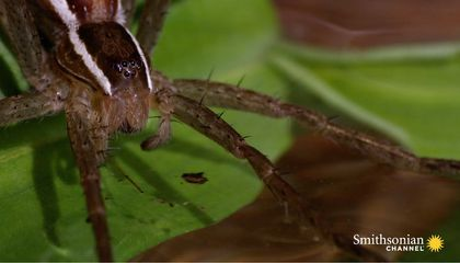 This Terrifying Spider Hunts Fish Underwater